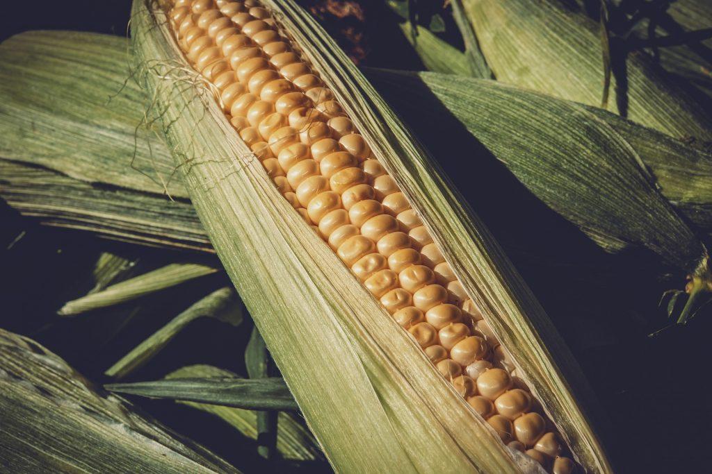 La polenta una storia da raccontare Pannocchia di mais