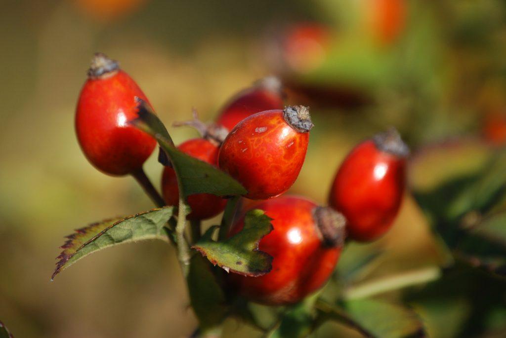 Confetture dei frutti dimenticati Rosa Canina