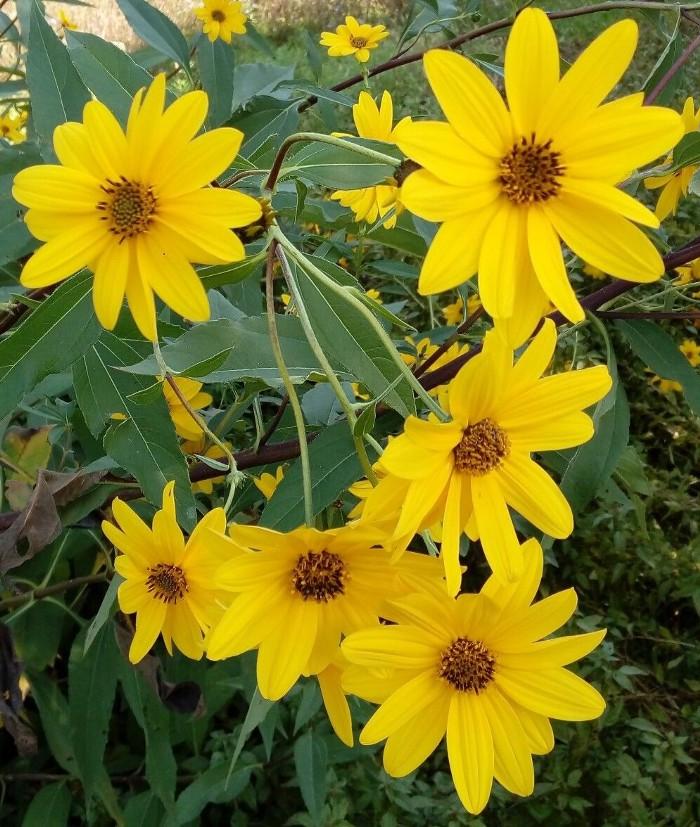 Gusti e sapori d'autunno  Tabinambur Fiori