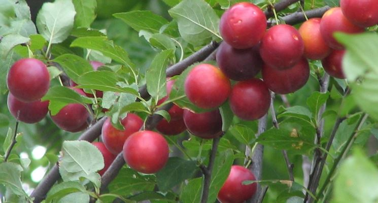 La frutta del Delta del Po Amolo