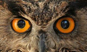 Occhi Gufo
