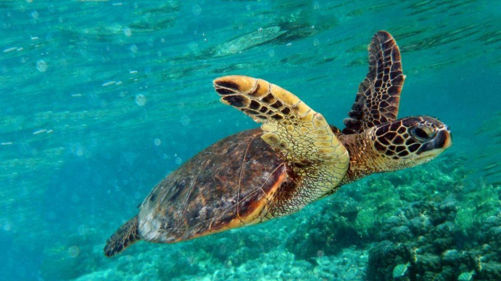 le-tartarughe-marine-nidificano-nel-delta-del-po Green Turtle Swimming I