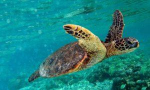Green Turtle Swimming I