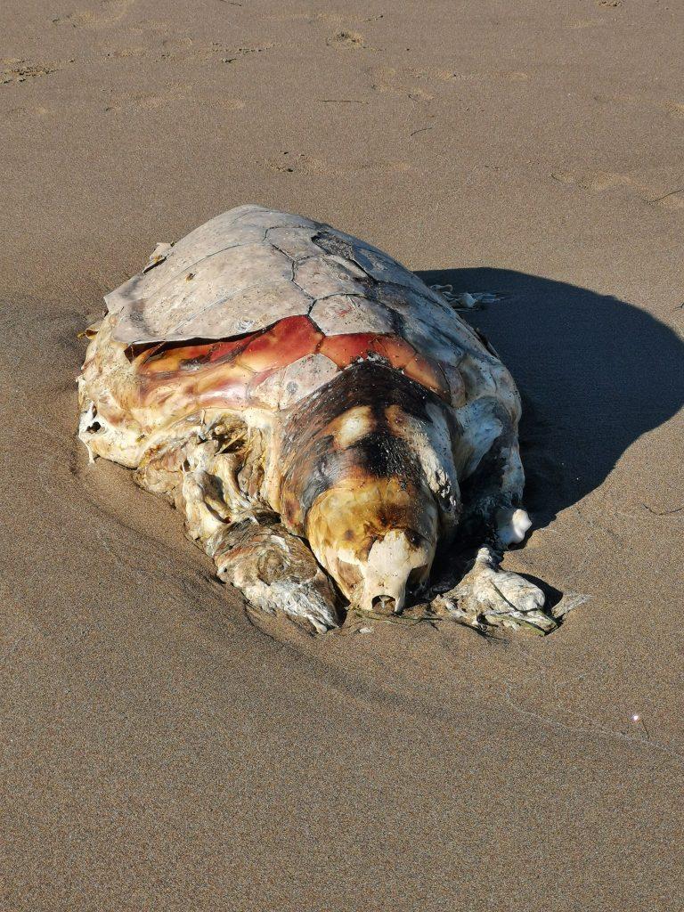 le-tartarughe-marine-nidificano-nel-delta-del-po Careta Careta Spiaggiata Morta