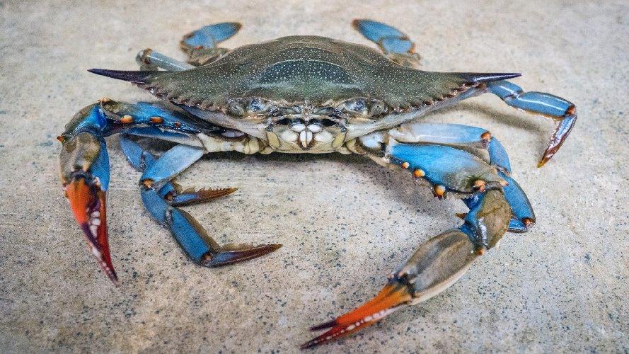 Delta del Po osservatorio della biodiversità Il Vorace Granchio Blu