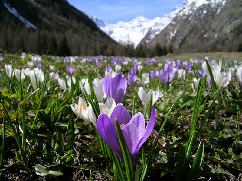 primavera valle d'aosta - foto di un mazzo di fiori