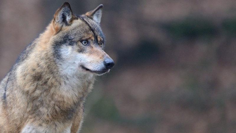 Un lupo che guarda l'orizzonte