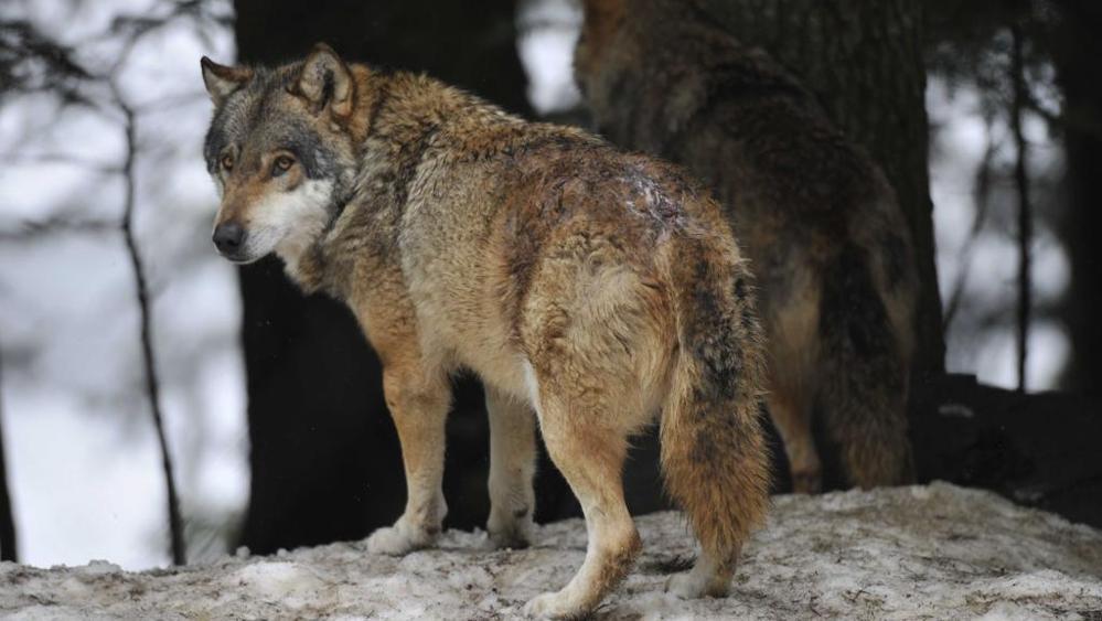 Lupo avvistato in branco nelle catene montuose di Aosta