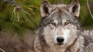 Il lupo nel territorio di Aosta