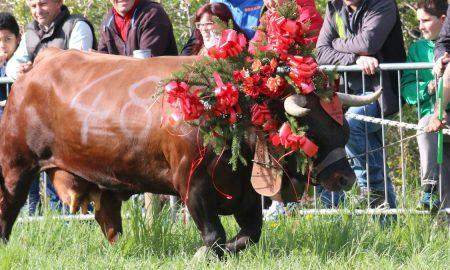 Cultura valdostana una mucca adornata