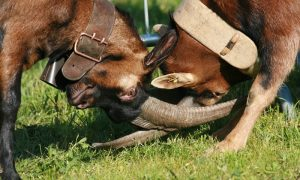 Batailles des Chèvres