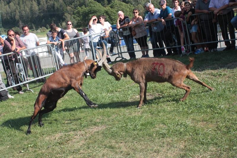 Una Delle Foto D'epoca Delle Batailles des Chèvres