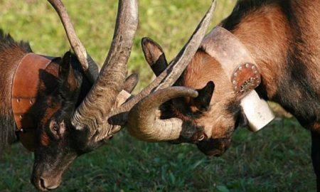 La bataille des chèvres: capre in duello