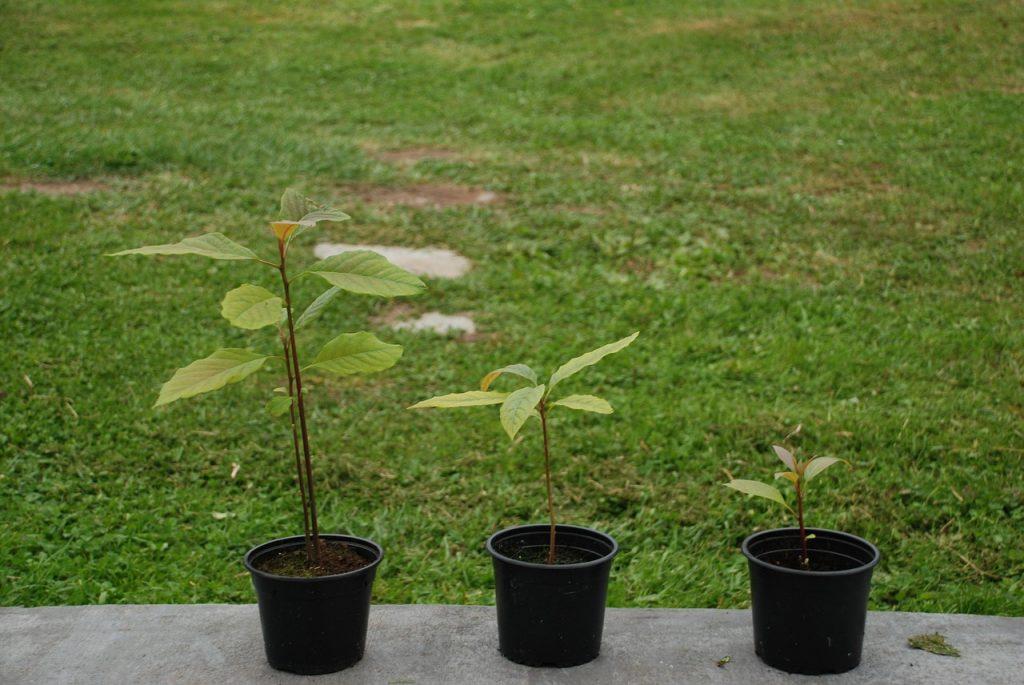 fare giardinaggio con avocado