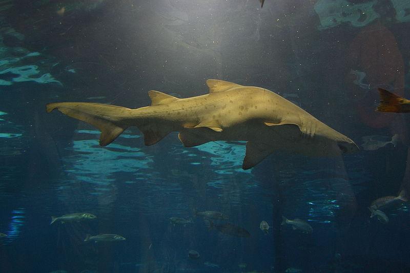 Acquario Barcellona-squalo