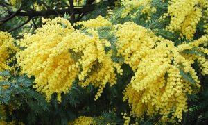 Festa della donna-Mimosa