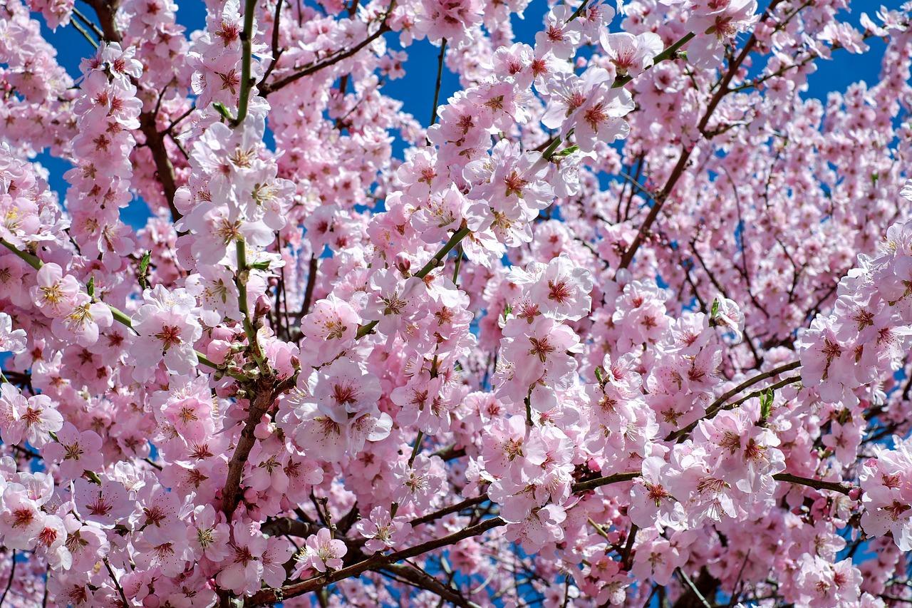 La primavera - El almendro en flor