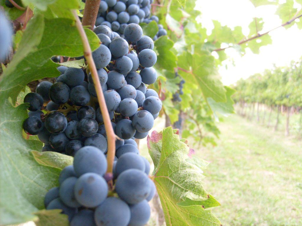 Calici al Bastione -Grappolo di uva rossa