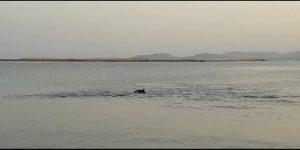 Su Siccu, delfino, mare