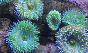 Orziadas - Esempio di anemoni di mare