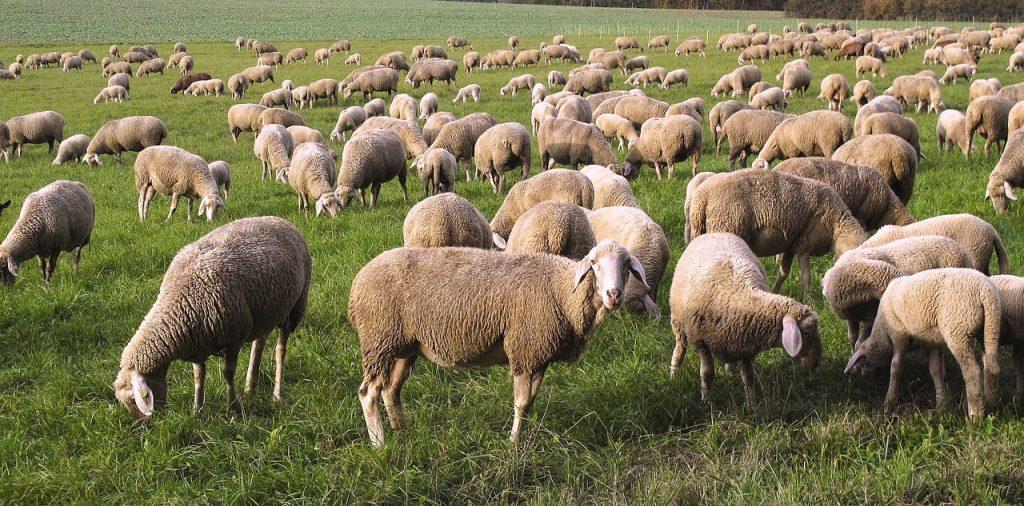 Pecorino sardo -Gregge di pecore