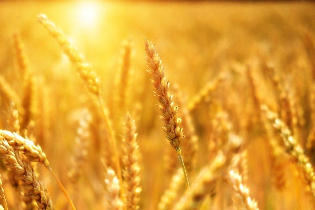campo di grano inondato dal sole con una spiga in primo piano_Sa Mama e Su Sole e sa mama e su Trigu