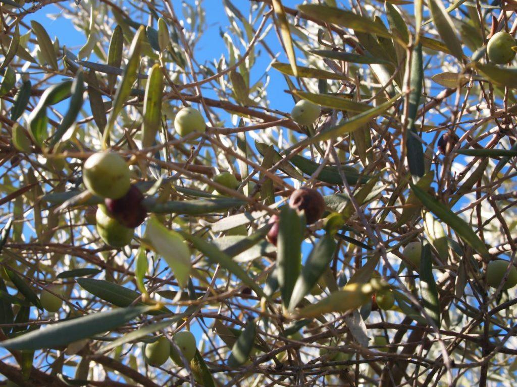 dettaglio di rami dell'olivo con i suoi frutti durante la racconta delle olive Raccolta Olive Dettaglio2