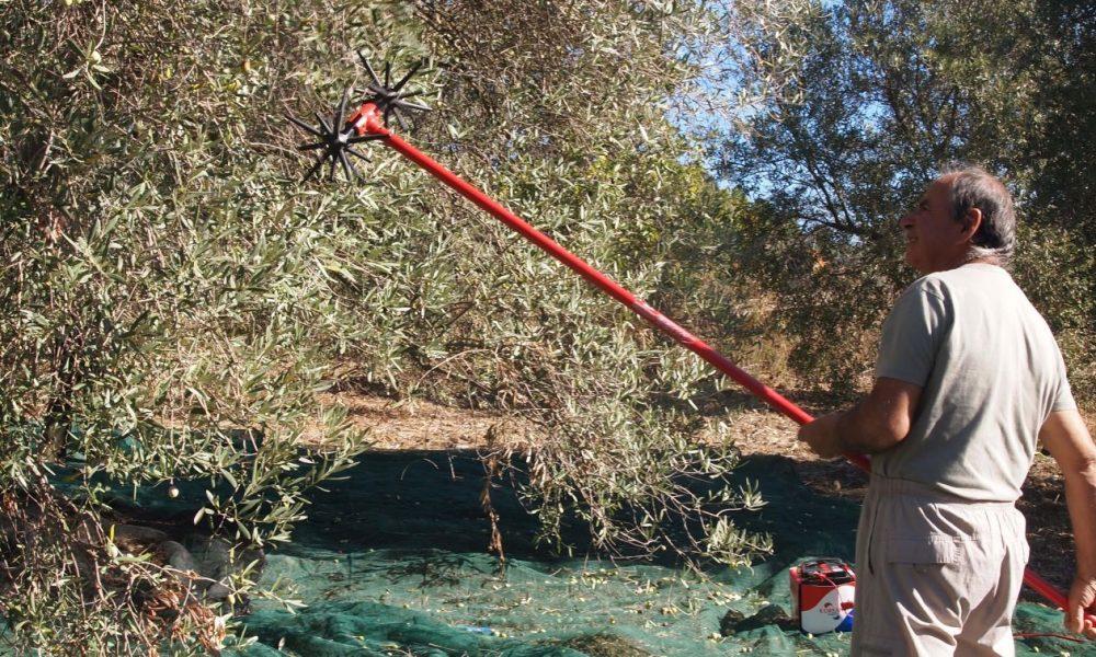 uomo impugna uno scuotitore durante la raccolta delle olive