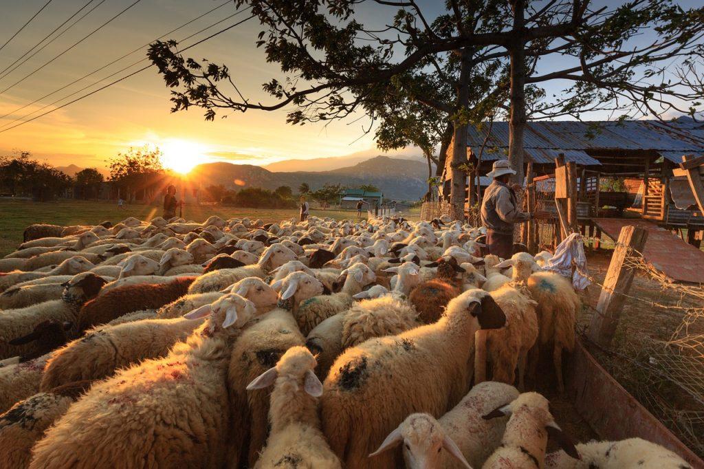 Molise Art - Gregge Di Pecore