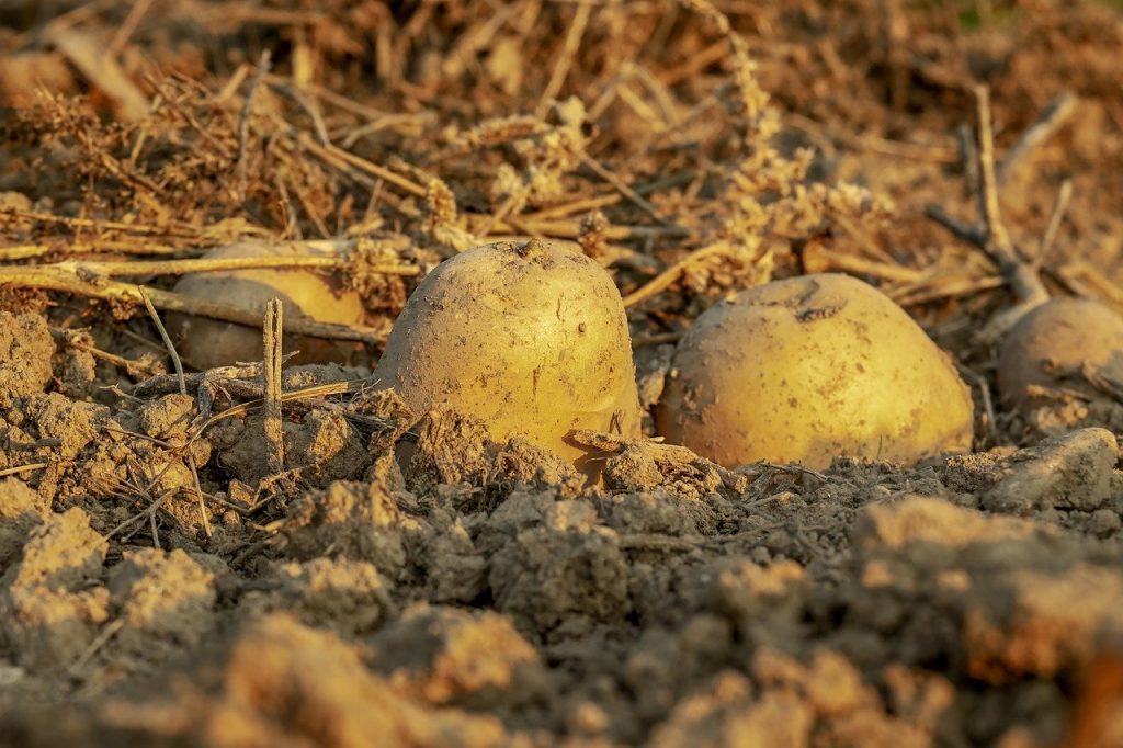 Patata - Campo Patate