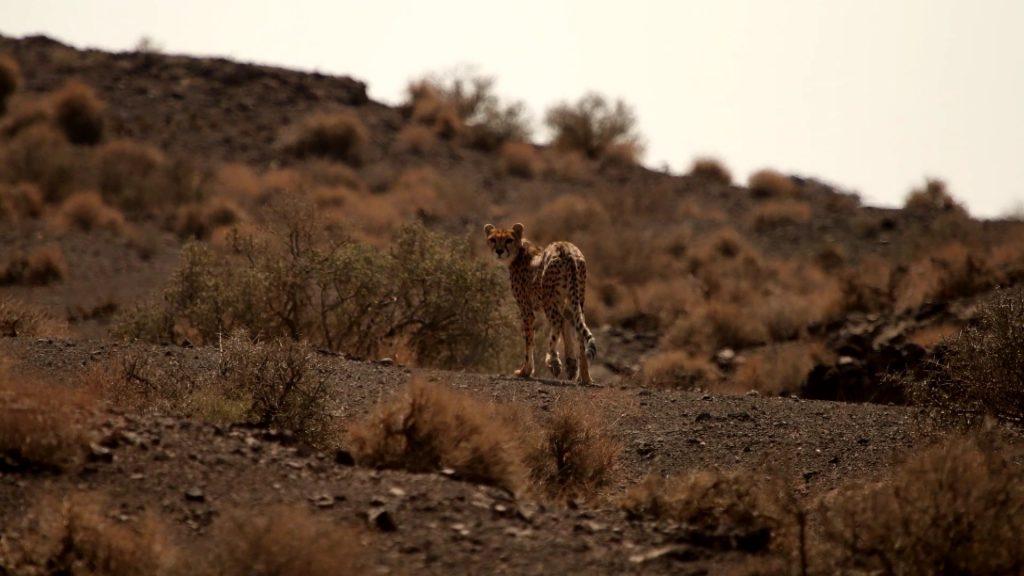 Il Ghepardo Asiatico Dell Iran