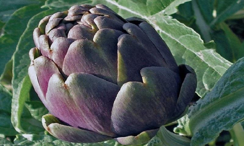 Il carciofo capuanella coltivato a Capua.