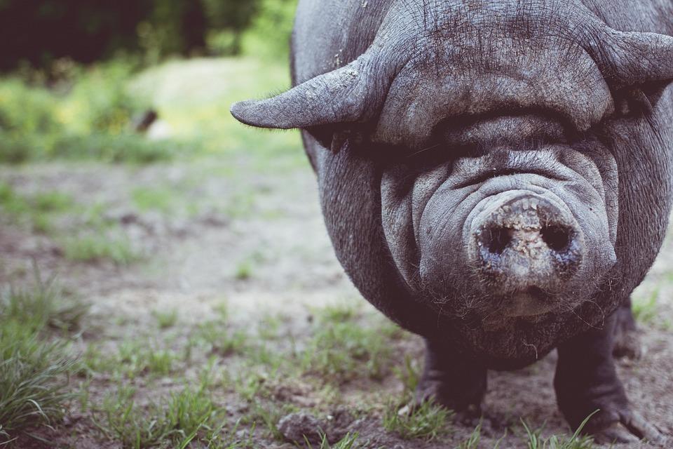 una specie da salvare: il maialino nero