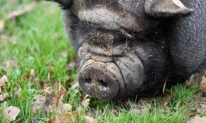 una foto del maialino nero della provincia di Caserta