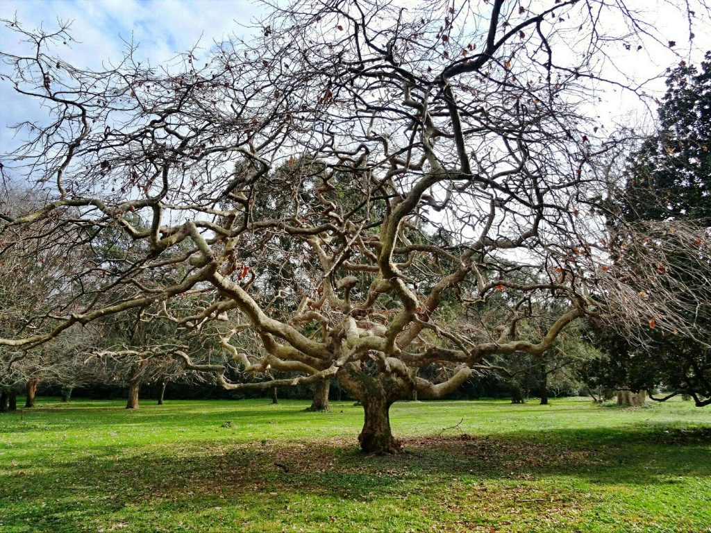 uno degli alberi più caratteristici del giardino inglese