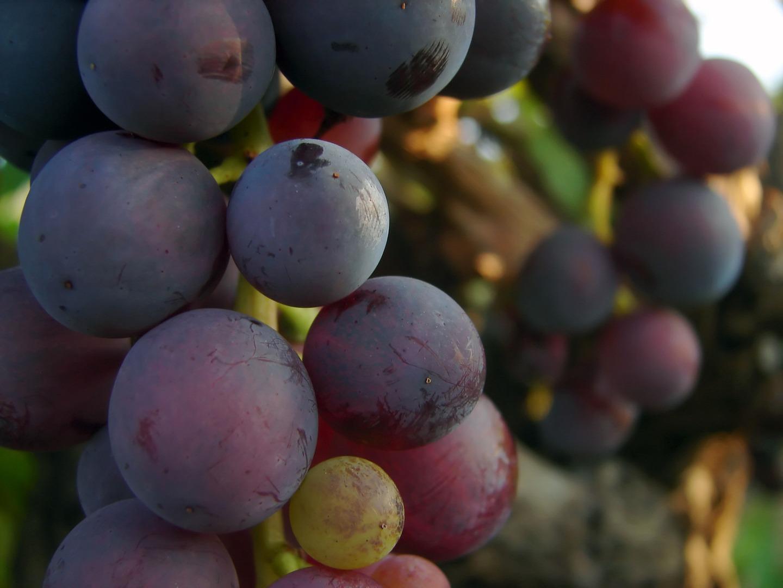 Il titolo alcolometrico del vino di Galluccio deve corrispondere almeno all'11,5%