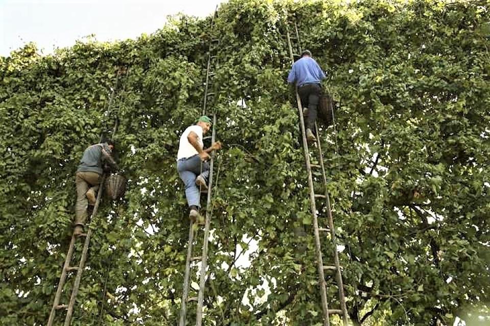 coltivazione delle viti per l'asprinio di aversa