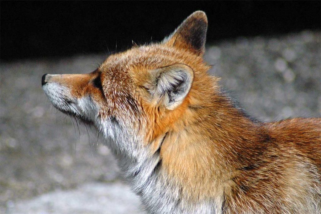 La volpe: uno dei protagonisti della favola di Raviscanina