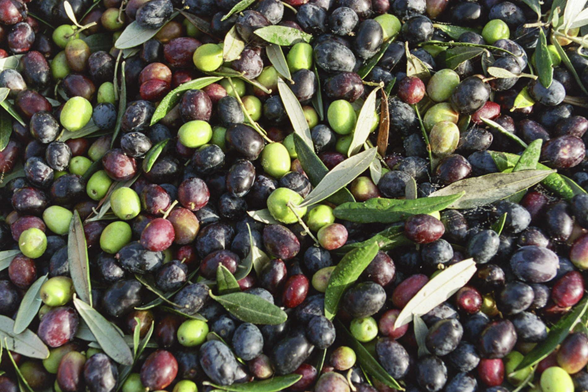 L'Oliva Caiazzana rappresenta una varietà unica di olive (Foto GuideSlow.it)