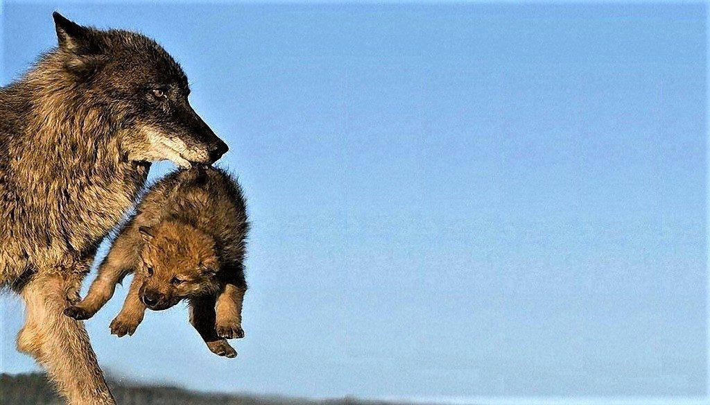 i lupi tra le specie presenti al Lago Del Matese