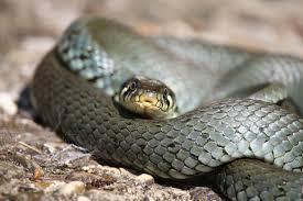 Serpente della favola di Raviscanina