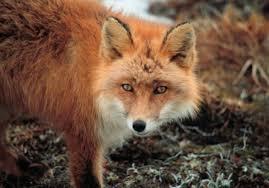 la volpe della favola di Raviscanina
