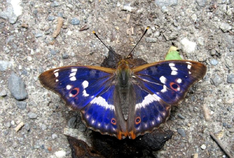 farfalle del matese - Apatura Ilia