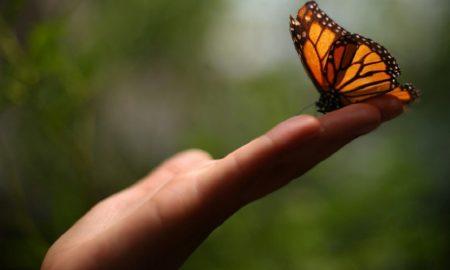 farfalle del Matese - una farfalla