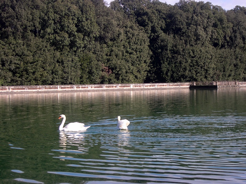 Due cigni Nel Parco Di Caserta