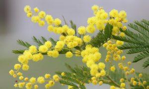 8 Marzo Mimosa