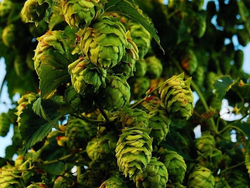 Birra Di Montecassino Luppolo