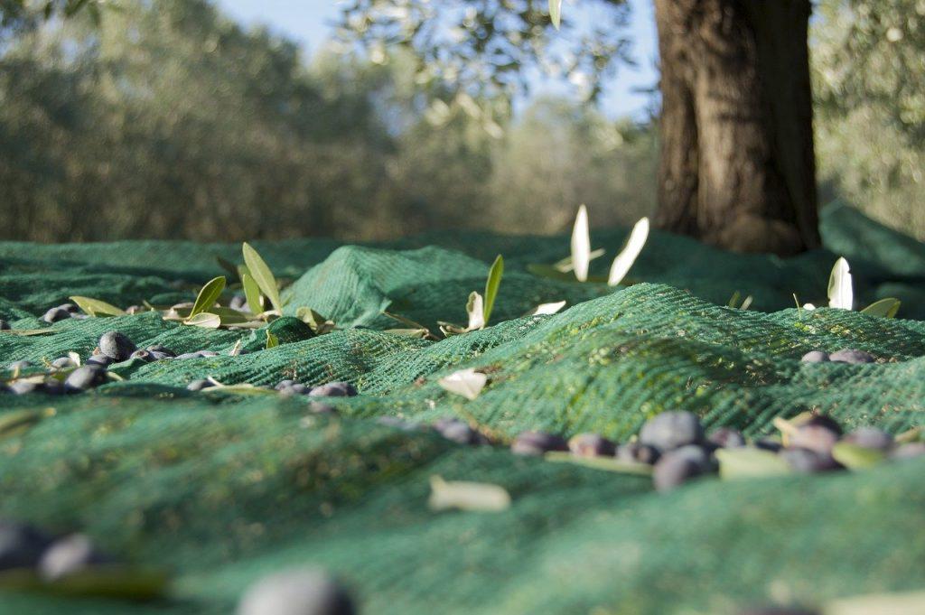 Olive Raccolta Su Telo