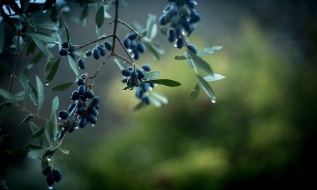 Olive Natura