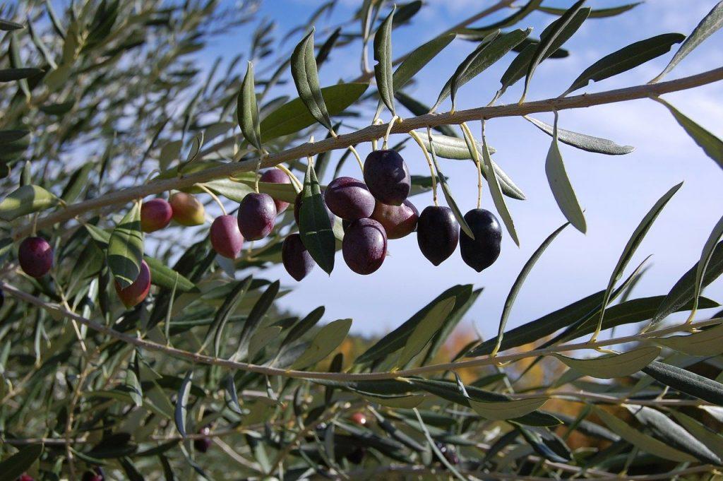 Olive Raccolta Panorama